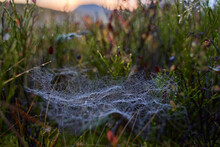 Spider Web With Dew On Blueberry Bush