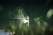 White Swan Is Swimming In The Lake, Lonely Animal
