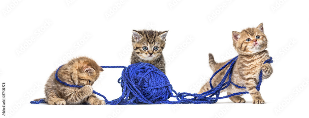 Fototapeta Kitten British longhair and shorthair playing with a blue ball of wool