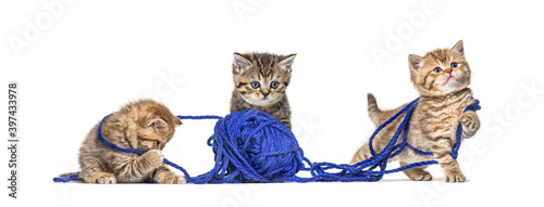 Obraz Kitten British longhair and shorthair playing with a blue ball of wool - fototapety do salonu