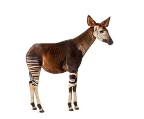 Okapi, Okapia johnstoni, isolated on white