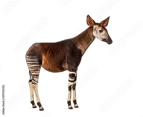 Okapi, Okapia johnstoni, isolated on white