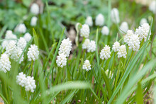 Muscari Aucheri White Magic, Grape Hyacinth Flowers Close Up, UK