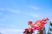 Close Up Images Of Red Color Dahlia Flowers And Clear Light Blue Sky In Furano Province Northen Part Of Hokkaido Japan On Summer Season Around August Or September.