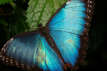 Blue Morpho Butterfly On Leaf With Wings Open