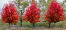 A Trio Of Brilliant Red Autumn Blaze Trees On A Cloudy Day In The Forest Preserve In Chicago