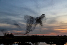 Starling Murmurations. A Large Flock Of Starlings Fly At Sunset In The Netherlands. Hundreds Of Thousands Starlings Come Together Making Big Clouds To Protect Against Birds Of Prey.
