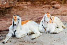 Two Sojat Goats Chained To A Rock Resting In The Shade