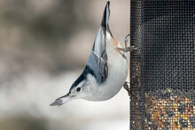 Close Up Of A White-breasted Nuthatch On A Bird Feeder