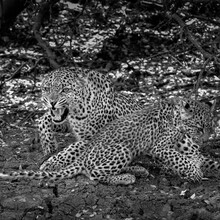 Female Leopard Snarling Protetively With Cub