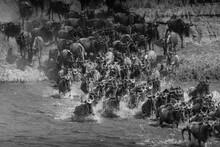 A Herd Of Gnu Crossing The Mara River- Tanzania