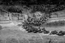 Gnu Crossing The Mara River During The Migration - Tanzania