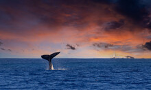A Humpback Whale Slaps His Tail On The Ocean Water Under A Dramatic Sunset With A Sailboat In The Distance