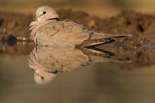 Low Angle Of A Cape Turtle Dove Having A Bath In Beautiful Morning Light