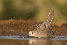 Low Angle Of A Cape Turtle Dove Dipping Into The Water And Having A Bath In Beautiful Morning Light.