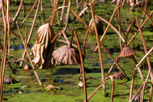 Sydney Australia, Autumn View Of Pond With Dead Lotus Stems And Seed Pods
