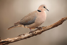 The Ring-necked Dove (Streptopelia Capicola) Or The Cape Turtle Dove Or Half-collared Dove Sitting On The Branch