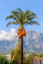 Date Palm Tree (Phoenix Dactylifera) With Ripening Date Fruits Against Blue Sky