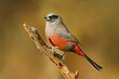 canvas print picture A small black-faced waxbill (Estrilda erythronotos) perched on a branch, South Africa.