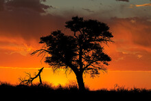 Sunset With Silhouetted African Thorn Tree And Clouds, Kalahari Desert, South Africa.