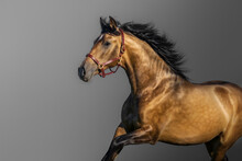 Portrait In Motion Of Golden Bay Andalusian Horse.