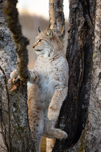 Eurasian Lynx Climbing In A Trees In The Forest