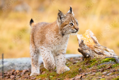 Photographie Close-up of a beautiful eurasian lynx cub walking in the forest