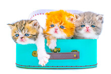 Cute Persian Kitten  Inside A Suitcase On Isolated White Background