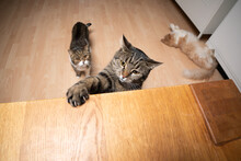 Curious Tabby Cat Raising Paw To Reach Table With Copy Space. Two Different Cats In The Background