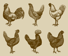 Group Of Cocks And Hens From Of Different Chicken Breeds Isolated On An Ocher Background, After An Antique Illustration From The Early 20th Century