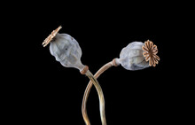 Two Dried Poppy Seed Pods Isolated On Black