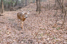 A Buck Is Walking In The Forest On Autumn Weather