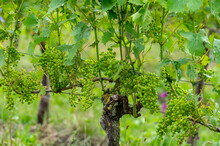 Summertime On Dutch Vineyard, Young Green Grapes Hanging And Ripening On Grape Plants