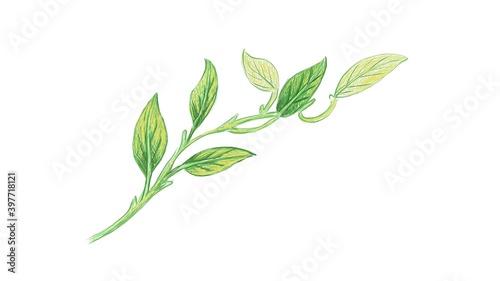 Ecology Concepts, Illustration of Epipremnum Aureum, Golden Pothos, Hunter's Robe, Ivy Arum, Money Plant or Silver Vine Creeper Plant Fotobehang