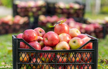 Apple Crop Or Harvesting. Ripe, Juicy Apples From Trees In Farm Orchard. Close-up. Autumn Sunny Day. Agriculture.