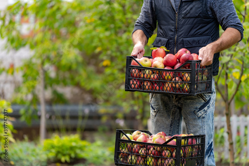 Fotografia Farmer man or gardener picking box of fresh organic apples
