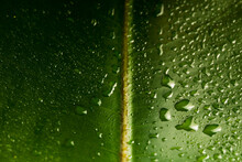 Macro Ficus Leaf With Water Drops