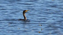 Double Breasted Cormorant Swimming In Blue Rippled River