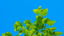 Mulberry Green Leaves In Blue Sky
