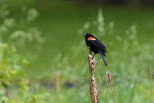 Red-winged Blackbird Singing In Spring