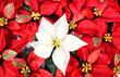 Leinwandbild Motiv Bright red poinsettia plant, houseplant for the Christmas season. Christmas traditional red flower full of Christmas seasonal flowers and plants in a garden shop. banner size