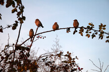 Sparrows On A Branch Of Rosehip. Sparrows On A Branch Of A Rose Hip Bush At Sunset. High Quality Photo