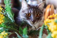 Cat Is Hiding In Mimosa Branches, Spring Background