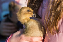 Small Baby Duckling In The Hands Of A Child