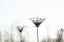 Wild Carrot Daucus Carota Flower On A Background Of The Sky In Ukraine In A Field In Winter