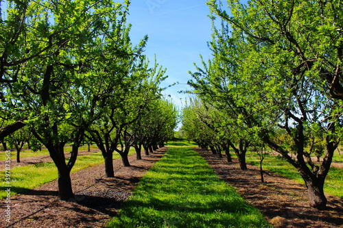 Orchard in the spring before almond blossoms Fototapeta