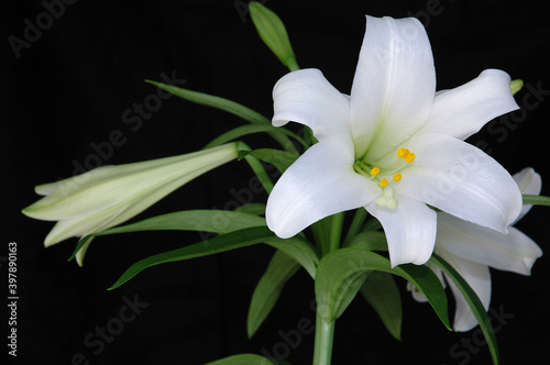 Obraz na plátně White Easter Lilly against a balck background