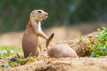 Ground Squirrel - Spermophilus Citellus Stands In A Meadow And The Other Ground Squirrel Climbs Into A Hole.