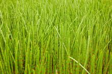 Juicy Dense Green Marsh Grass, Bamboo, Asparagus, Stems