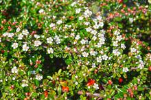 Blooming Cotoneaster Dammer (Cotoneaster Dammeri C.K.Schneid.)
